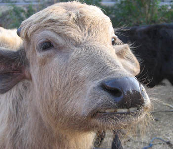 Indian Smiling Cow